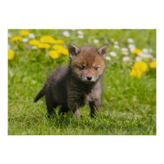 Cute Fluffy Red Fox Cub Wild Baby Animal Photo Poster