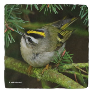 Cute Little Kinglet Causes a Stir in the Fir Trivet