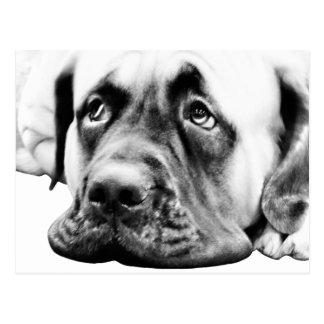 Cute Mastiff dog Postcard