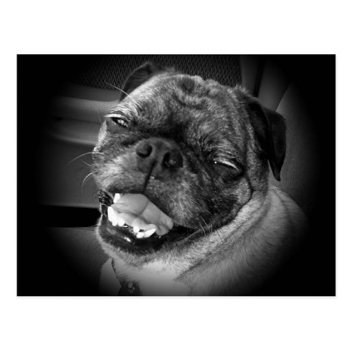 Cute Pug Dog Postcard