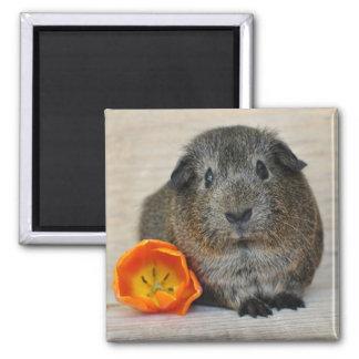 Cute, Smooth, Short Hair, Agouti Guinea Pig Square Magnet