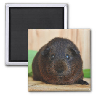 Cute, Smooth, Short Hair, Golden Agouti Guinea Pig Square Magnet