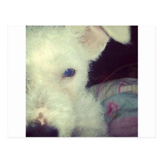 Cute white dog postcard