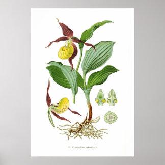 Cyprepedium calceolus poster