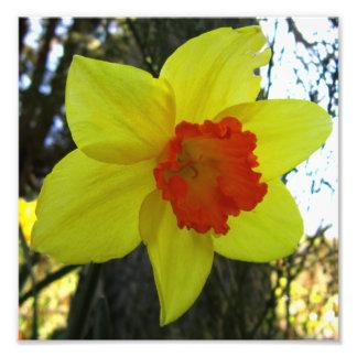 Daffodil Photo Print