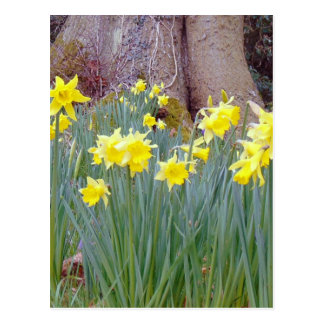 daffodil wood.jpg postcard
