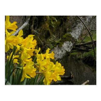 Daffodils 01 postcard