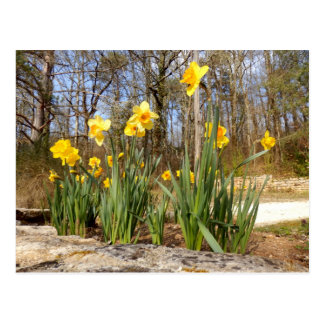 Daffodils at Easter Postcard