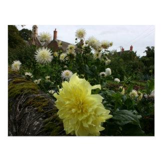 Dahlias in cottage garden post cards