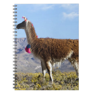Decorated lama herd in the Puna, Andes mountains 2 Spiral Notebook