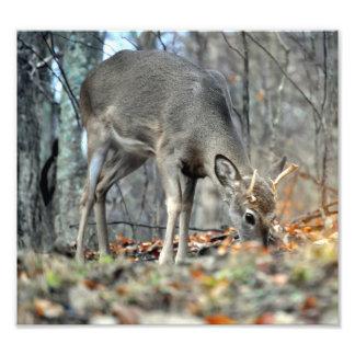 Deer grazing photograph