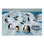 Diagram of a Life Cycle of the Emperor Penguin Posters