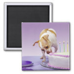 Dog (chihuahua) eating birthday cake on table square magnet