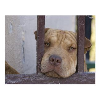 Dog looking through a gate, Valparaiso, Postcard