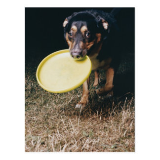 Dog With Frisbee in Mouth Postcard