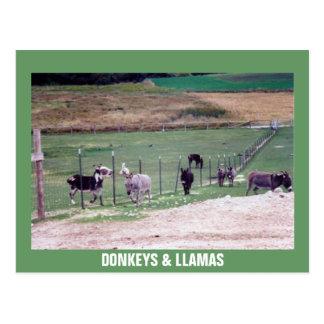 DONKEYS LLAMAS POST CARD