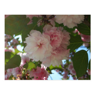 Double Blossoming Cherry Tree I Spring Floral Postcard
