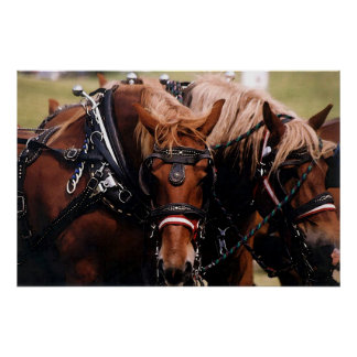 Draft Horses In Harness Poster Print