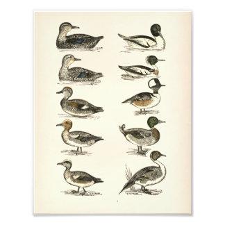 Ducks of North America Illustrations
