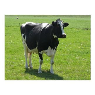 Dutch Frisian cow in green meadow Postcard