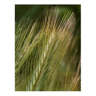 ear in the meadow postcard