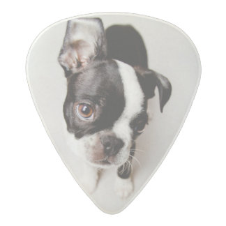 Edison Boston Terrier puppy. Acetal Guitar Pick