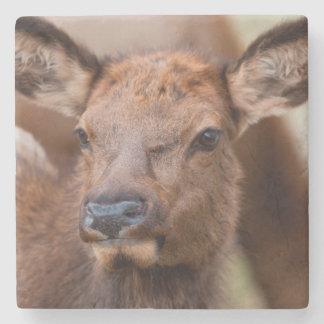 Elk (Cervus Elephus) Calf With Winter Hair Stone Coaster
