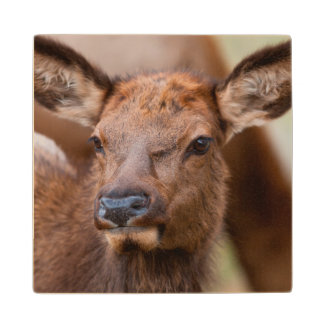 Elk (Cervus Elephus) Calf With Winter Hair Wood Coaster