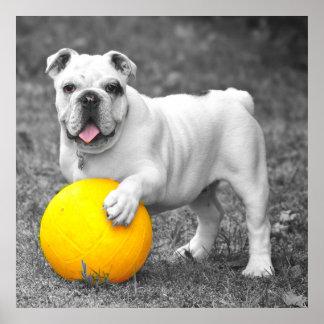 English bulldog white and the yellow ball poster