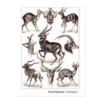 Ernst Haeckel Antilopina New Address Postcard