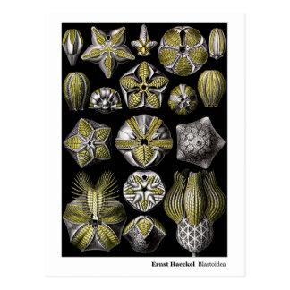 Ernst Haeckel Blastoidea New Address Postcard