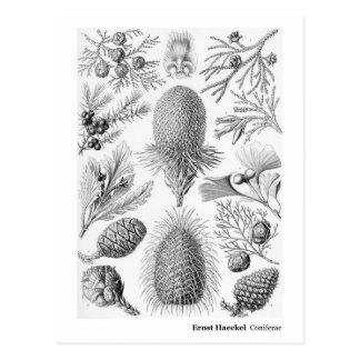 Ernst Haeckel Coniferae Black New Address Postcard