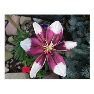 Exotic Lily Postcard