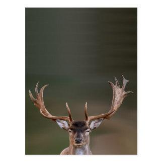 Fallow Deer is Judging You Postcard