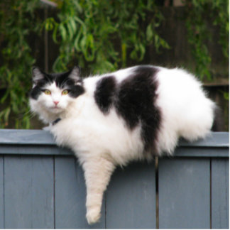 Fat Cat On Fence Standing Photo Sculpture