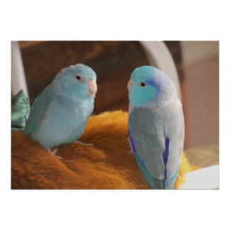 Feathered Friends Blue Pacific Parrotlets Bird Art Poster