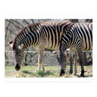 Feeding Zebras Postcard