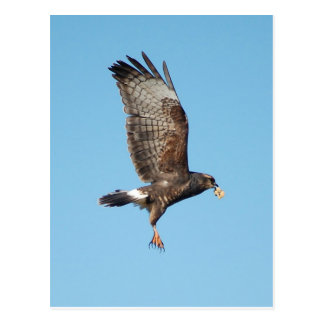 Female Everglades Kite Postcard