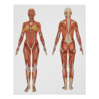 Female Muscular Anatomy Front and Rear View Poster