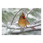 Female Northern Cardinal in snowy pine tree, Photograph