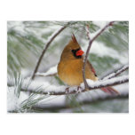 Female Northern Cardinal in snowy pine tree, Postcard