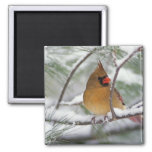Female Northern Cardinal in snowy pine tree, Square Magnet