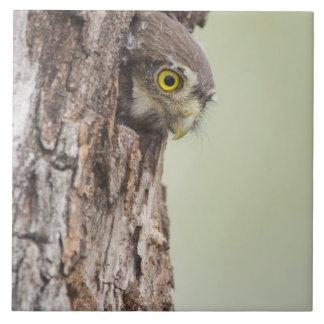 Ferruginous Pygmy-Owl, Glaucidium brasilianum, 4 Tile