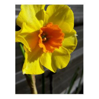 first daffodil postcard