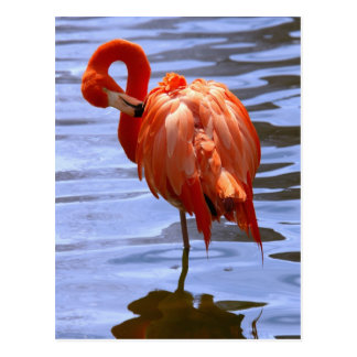 Flamingo on one leg in water postcard