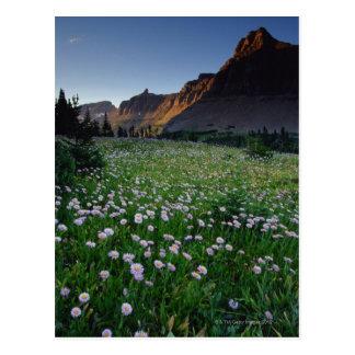 Fleabane in alpine meadow at Logan Pass , Postcard