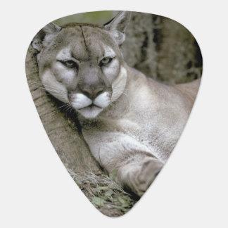 Florida panther, Felis concolor coryi, Plectrum