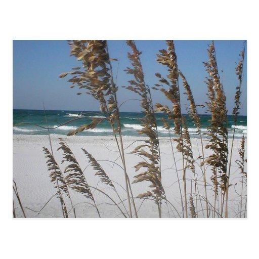 Florida Sea Oats Postcard