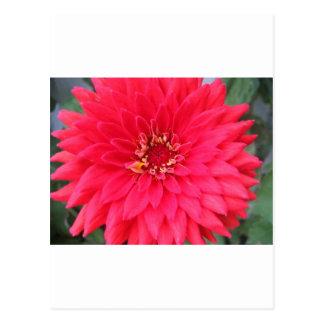 flower,dark pink zinnia postcard