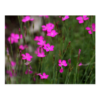 Flower of a maiden pink postcard